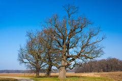 Three oaks Royalty Free Stock Photography