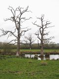 Three old and gnarled trees. Sitting in a waterlogged field Royalty Free Stock Photo