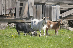 Free Three Old Goats. Royalty Free Stock Image - 40709036