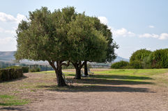 Three old olive trees. Three very old olive trees on the island of Sardinia, the benches under the trees Stock Photo