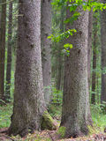 Three old spruces Royalty Free Stock Photos