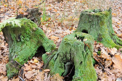 Three Old Tree Stump Stock Images