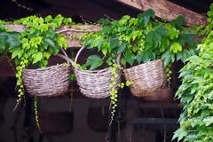 Three old used decorative round wicker baskets, hung on a wooden beam with ivy around.  stock images