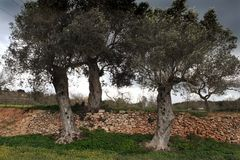 Three olive trees stock images
