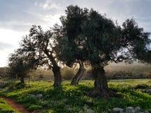 Three olive trees stock photos