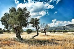 Three Olive Trees in a row. Typical Mediterranean Landscape.Three Olive Trees in a row and some others around. Greece stock image
