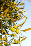 Three olives on a tree. Close up of three olives with several olives in the background Royalty Free Stock Image