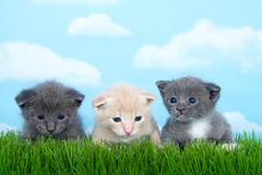 Three one month old kittens in tall grass. Gray and white and buff orange Stock Photo