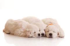 Three one month old puppies of golden retriever Stock Photo