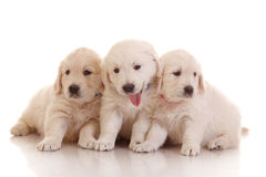 Three one month old puppies of golden retriever Stock Photos