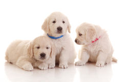 Three one month old puppies of golden retriever Royalty Free Stock Photos