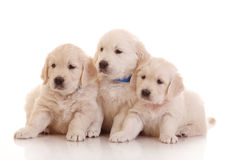 Three one month old puppies of golden retriever Royalty Free Stock Image