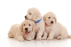 Three one month old puppies of golden retriever Stock Image