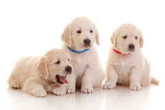 Three one month old puppies of golden retriever Royalty Free Stock Images