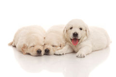 Three puppies of golden retriever Royalty Free Stock Photography