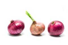 Three onions with sprout Stock Image