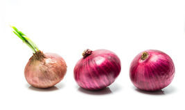 Three onions with sprout Stock Photography