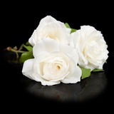 Three open white roses Royalty Free Stock Photo