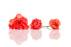 Three orange carnations in a row isolated on white with reflection. In the with key white table Royalty Free Stock Photos
