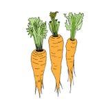 Three orange carrots. Vector images Royalty Free Stock Photo