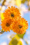 Three orange chrysanthemums. Orange chrysanthemums, the background is blurred Stock Images
