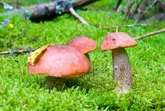 Three orange-cup mushrooms Stock Photo