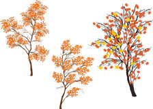 Three orange fall trees isolated on white Royalty Free Stock Photography