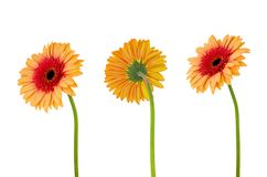 Three orange flower gerbera isolated on white. Three orange gerbera daisy flower on stem isolated on white background with clipping path stock images