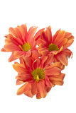 Three orange flowers. Closeup of three orange flowers on white background royalty free stock images