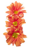 Three orange flowers. Closeup of three orange flowers on white background Stock Photo