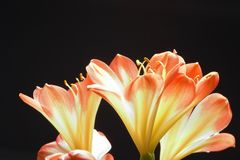 Three orange flowers. On black background stock images