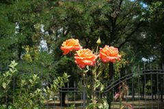 Three orange flowers of rose. In the garden stock photos