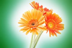 Three orange flowers Royalty Free Stock Photography