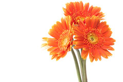 Three orange flowers Royalty Free Stock Images