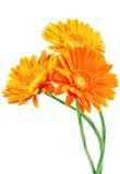 Three orange gerbera flowers Royalty Free Stock Photos