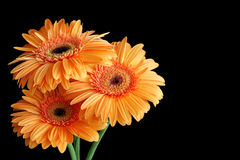 Three orange gerbera flowers Royalty Free Stock Images