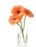 Three orange gerberas Stock Photos