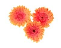Three orange gerberas Royalty Free Stock Photography