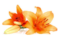 Three orange lilies over white background Royalty Free Stock Image