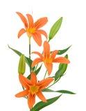 Three orange lillies Stock Images