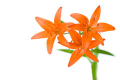 Three orange lily flowers Royalty Free Stock Photo