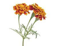 Three Orange Marigold Flowers Isolated On White Background. Tagetes Erecta Stock Photography