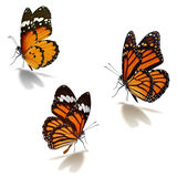 Three orange monarch butterfly. Isolated on white background royalty free stock photo