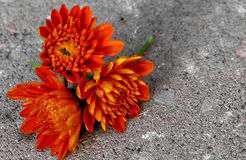 Three Orange Mums. Three autumn flowers with room for text stock photos