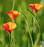Three orange poppy flowers on green background. In the garden in Grenoble, France Stock Photo
