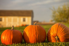 Three orange pumpkins with barn in the background Royalty Free Stock Images