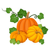Three orange pumpkins. Stock Image