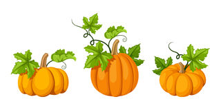 Three orange pumpkins. Vector illustrations. Royalty Free Stock Image