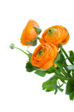Three orange ranunculus flowers Royalty Free Stock Image