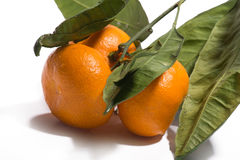 Three  orange ripe mandarin on a branch with leaves. Isolated on. Mandarins on the tree on white background Royalty Free Stock Photography